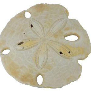 Encope Californicus Sand Dollar