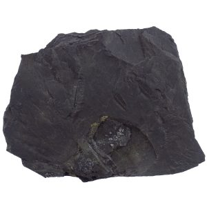 Shale (Graptolitic) - A