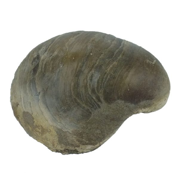 Gryphaea Bilobata Bivalve Fossil viewed from above