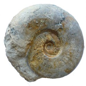 Haugia sp. Ammonite