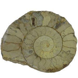 Ammonite - Cut and Lacqured