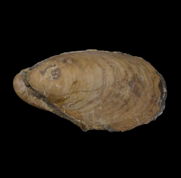 Perna Fossil Bivalve from Coober Pedy