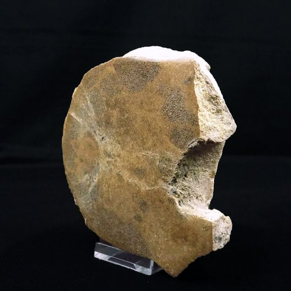 Colymbosaurus Vertebra Cut and Polished right side