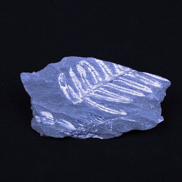 Carboniferous Plant Fossil from Pennsylvania in USA