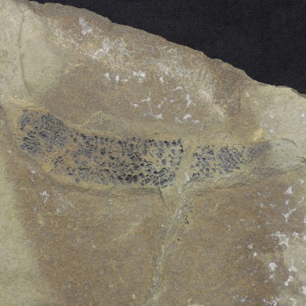Mesacanthus Fossil Fish Close Up
